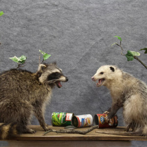 racoon_possum_02