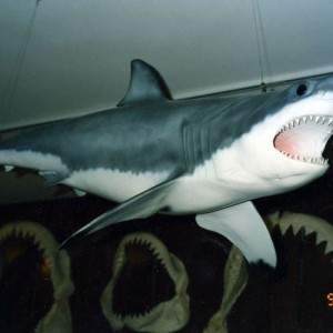 sharktaxidermy1